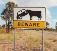 Beware Tipping Cows